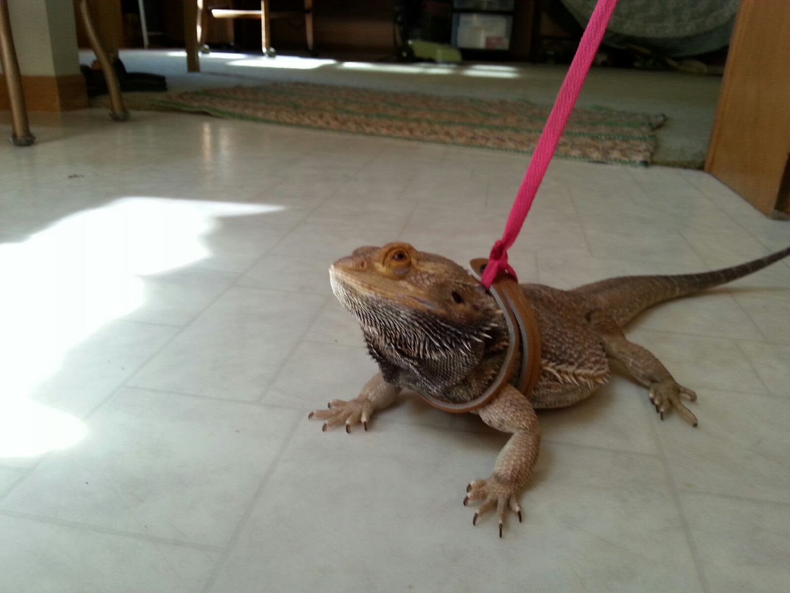 Bearded Dragons for Sale » The Bearded Dragon