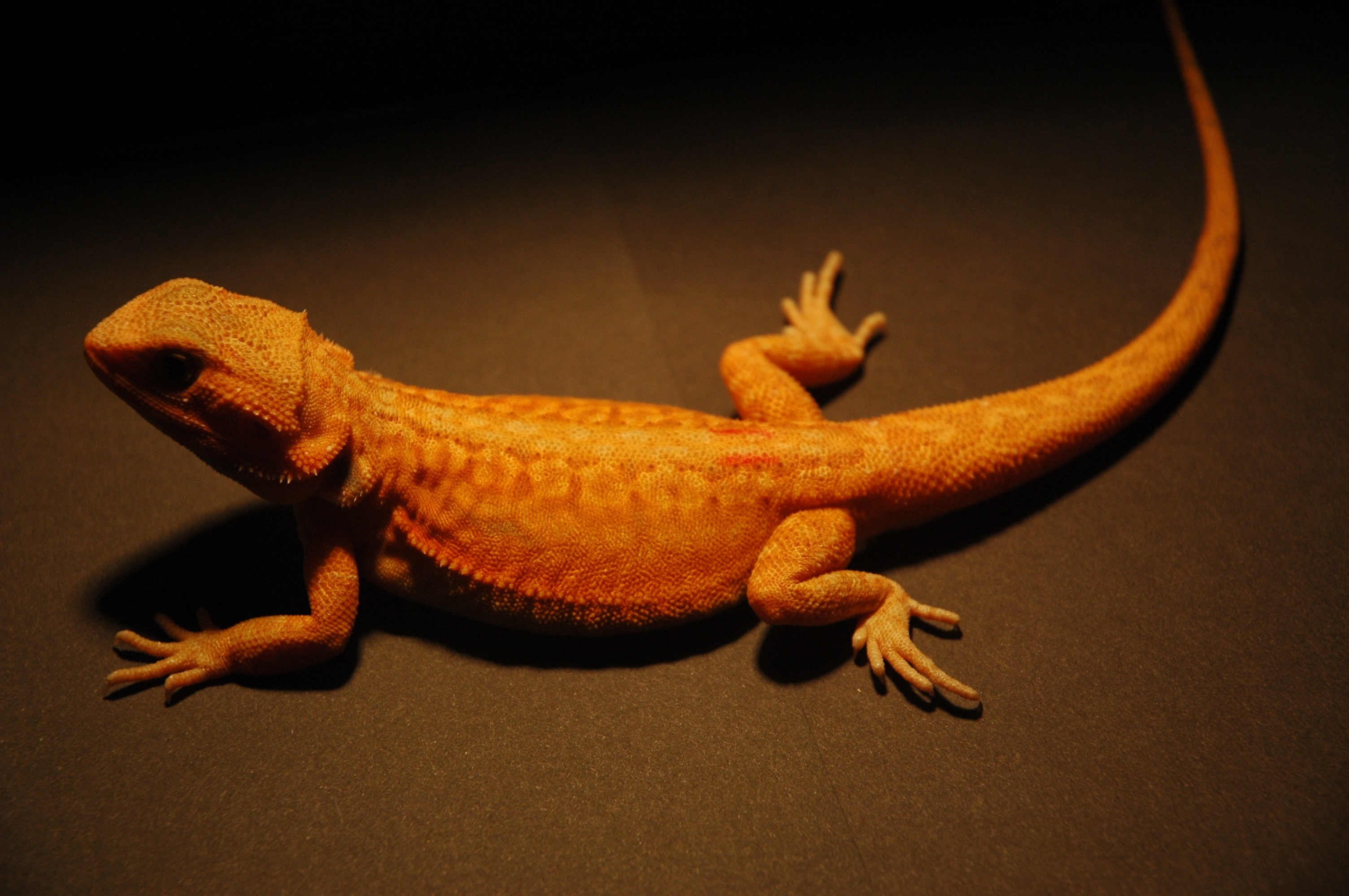 BackwaterReptilescom has fantastic captivebred Bearded Dragons for sale Pogona vitticeps at incredibly low prices Live arrival guaranteed!