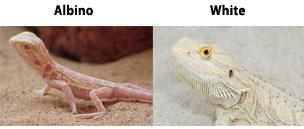 Albino / White Bearded Dragons