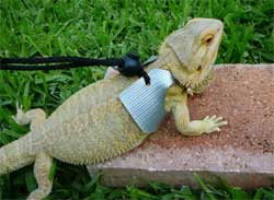 Bearded Dragons As Pets