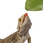 Bearded dragon eating vegetable