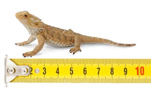 Crested Gecko Growth Chart This Gives You A General Idea Ballpark To Look At