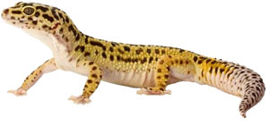 Leopard Geckos Information Facts More