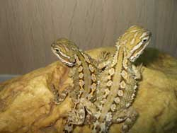 Types of Bearded Dragons » Learn Different Types, Colors