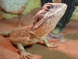 Pogona Minor Mitchelli