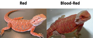 Red Bearded Dragons