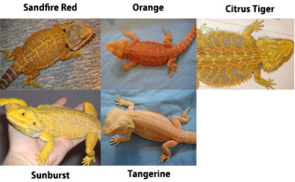 Red / Orange / Yellow Bearded Dragons