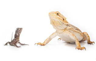Young or Old Bearded Dragon